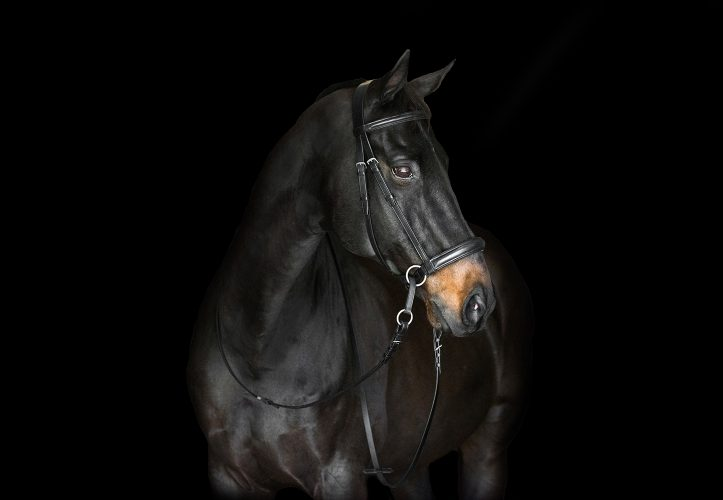 English Bridles Archives - The Bitless Bridle by Dr  Robert Cook